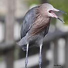 Reddish Egret by Dennis Cheeseman