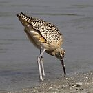 long billed Curlew by Dennis Cheeseman