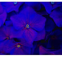 Blue ortensia Photographic Print