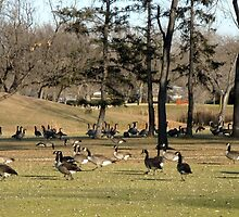 A Gathering of Geese by kenspics
