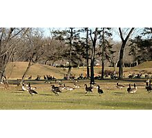 A Gathering of Geese Photographic Print