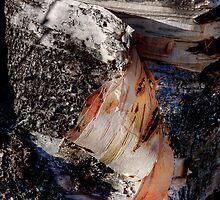 Peeling Aspen tree bark in HDR by Jeffrey  Sinnock