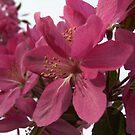 F O R G E T ~ me ~ N O T ... A Crab-apple Blossom by Larry Llewellyn