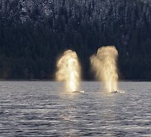 Backlit Whale Blows by Gina Ruttle  (Whalegeek)