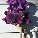 A Fall Blooming Iris by BarbBarcikKeith
