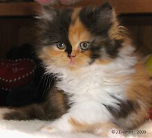 Calico Persian Kitten- Arms Crossed by Julie Everhart