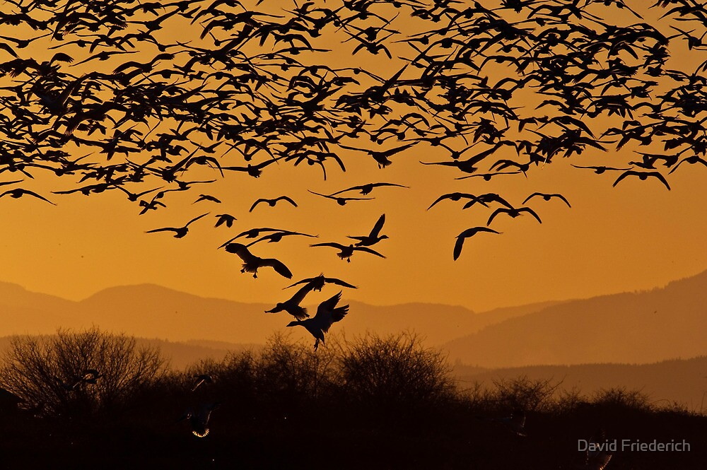 Wintering Snow Geese by David Friederich