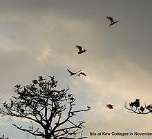 Ibis at Kew Cottages in November by 4Kew