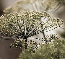 Dill by sonjas