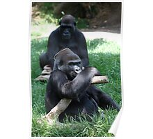 Gorilla's at Melbourne Zoo Poster