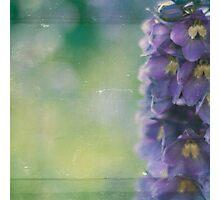 delphinium Photographic Print