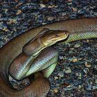 Brown Snake Ready to strike by Ausgirl60