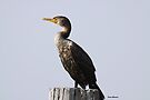 Double-crested Cormorant by Dennis Cheeseman