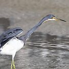 Tri colored Heron by Dennis Cheeseman