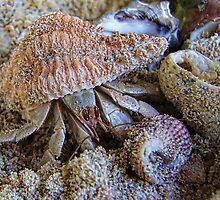 Hermit Crab by Ausgirl60