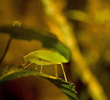 X-RAY KATYDID!!! by BrockLobster