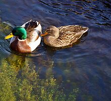 duck couple by cetrone
