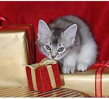 Somali kitten amongst Christmas presents Photographic Print