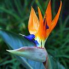 Bird of paradise by Rhonda  Thomassen