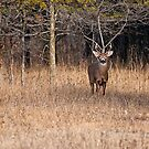 White Tailed Deer Buck - Ottawa, Canada - 3 by Michael Cummings
