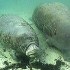 Florida Manatee 02 by aquamotion