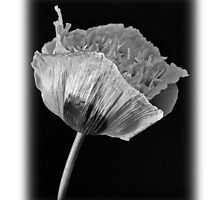 Poppy by MoGeoPhoto