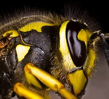 Common wasp close-up by Gabor Pozsgai