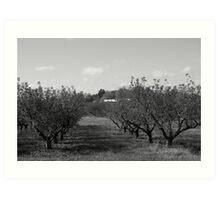 B&W Apple Trees Art Print