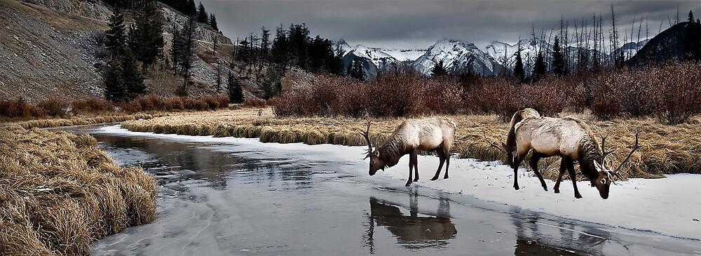 Vermillion Elk - Banff National Park by LukeAustin