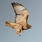 Red Tailed Hawk Very Close Up by David Friederich