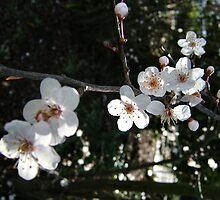 Blossoms by Shoshonan