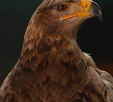 Tawny Eagle by Macky