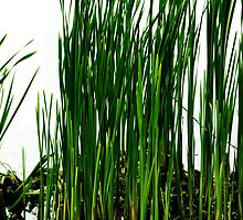 Reeds And Reflections 4 by Barry W  King