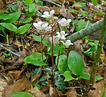 Pipsissewa - Cimaphila maculata - Spotted Wintergreen by MotherNature