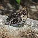 The Giant Owl Butterfly by Teresa Zieba