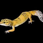 Leopard gecko on black by Angi Wallace