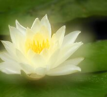 Water Lily by Silke Magino