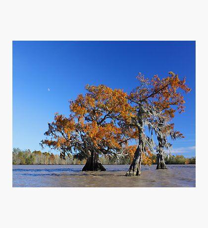 Majestic Cypress Photographic Print