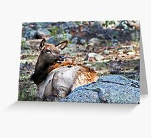 Adolescent Elk Greeting Card