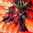 Wild series;Orange Poppy  flower X!... by sendao