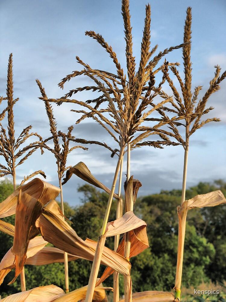 Corn stalks #2 by kenspics