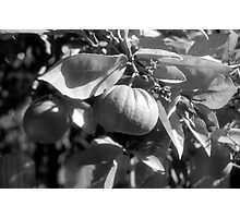 Fruit Over The Fence Photographic Print