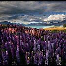 LupinScape by Robert Mullner