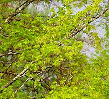 Maple tree blossoms 1 by Carolyn Clark