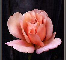 Pastel Peach Rose by Louise Page