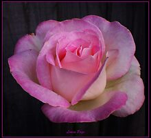 Rose of Peace and Tranquility by Louise Page