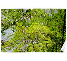 Maple tree blossoms 2 Poster