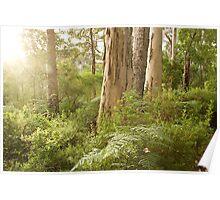 Light in the Karri Forest, Denmark, WA Poster