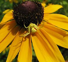 coneflower and visitor by sandoodles