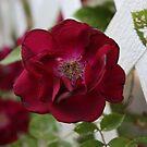 rose by korinrochelle